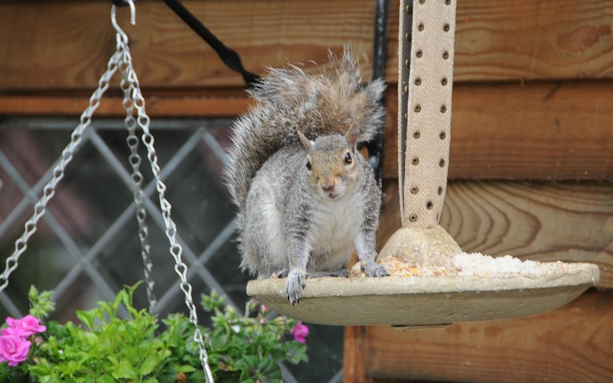 Pesky little Squirrel stealing the bird food