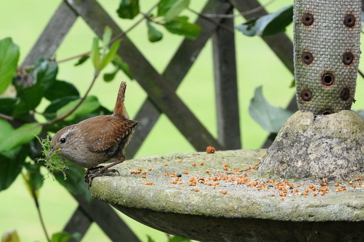 Jenny wren carrying some nesting material from the feeder to one of my hanging baskets.
