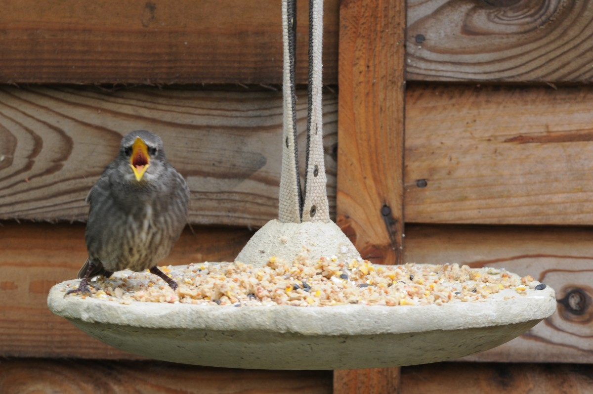 Hungry Baby Starling