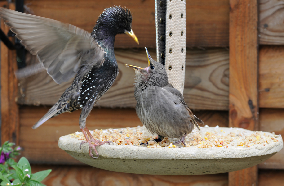 Starling feeding youngster on the Hypertufa decorative hanging Bird Feeder