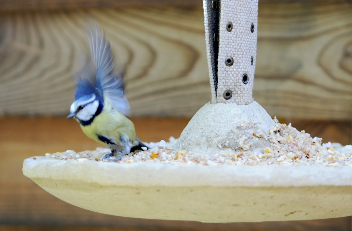Blue tit takes flight from the bird feeder