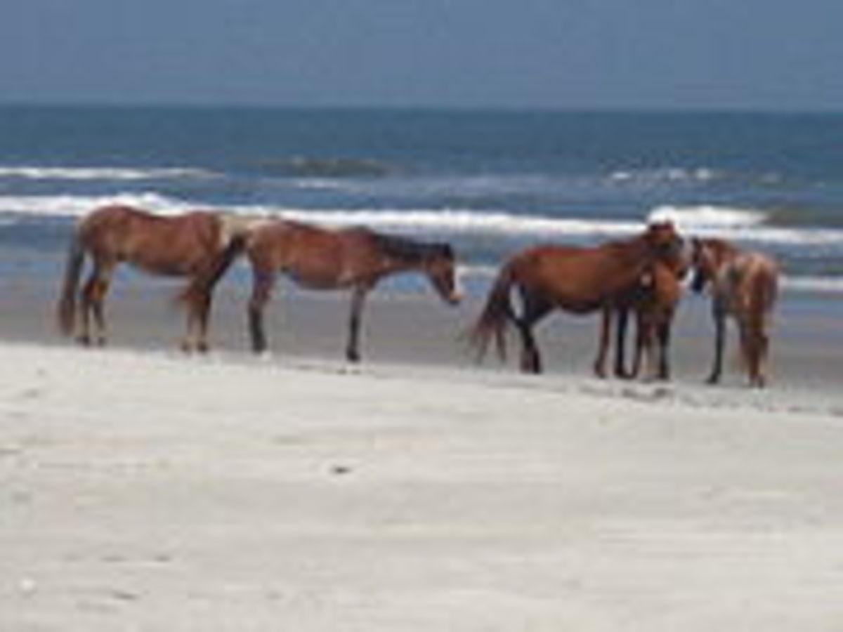 Feral horses on Cumberland Island