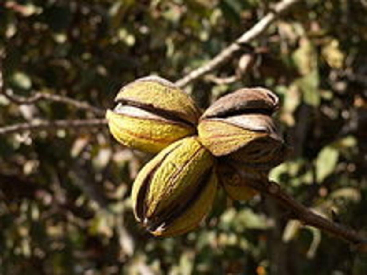 Pecans on the tree