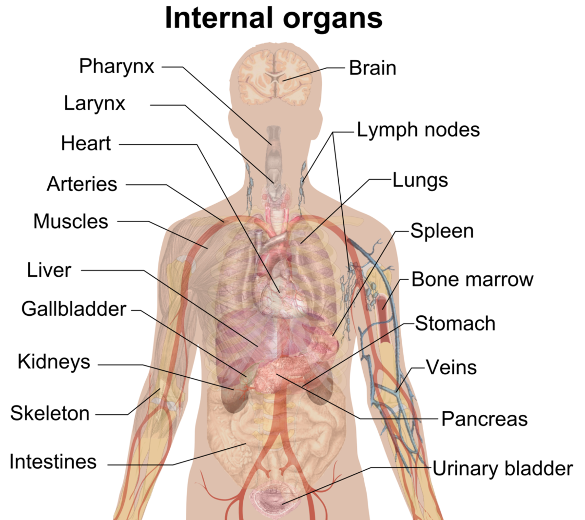 Your Internal Organs