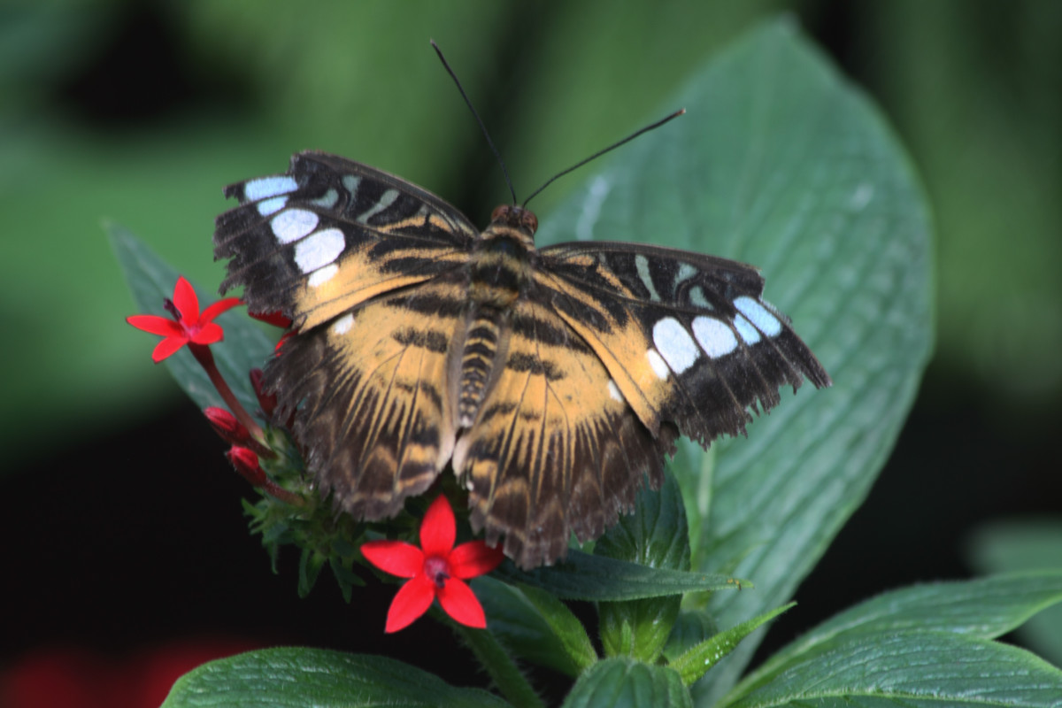 A Clipper'S Life (Parthenos sylvia)