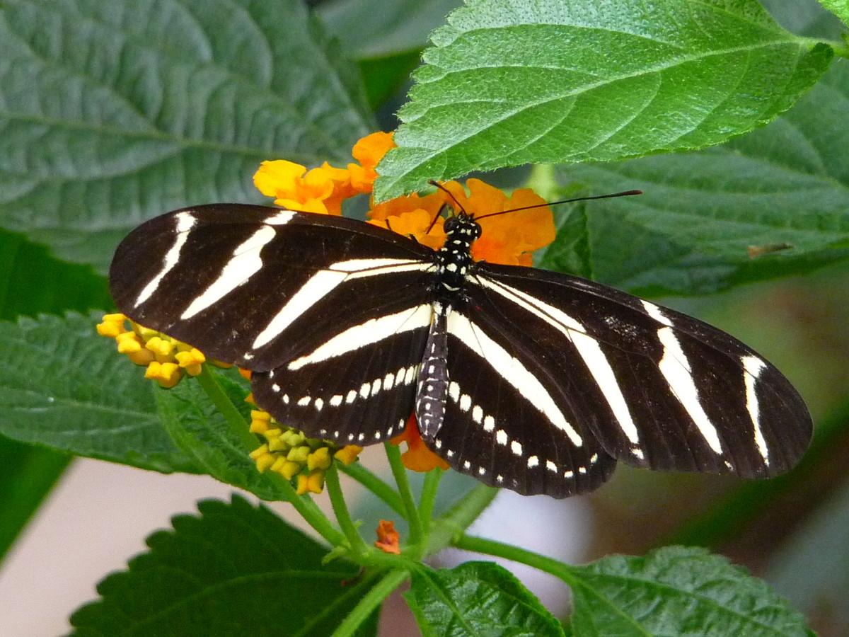 Zebra  (Heleconius charithonia)