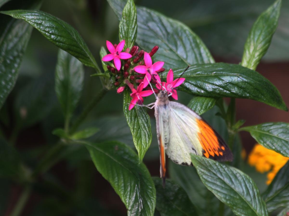 Orange Tip (Hebemoia glaucippe)