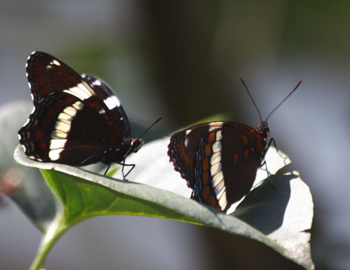 Mating White Admirals