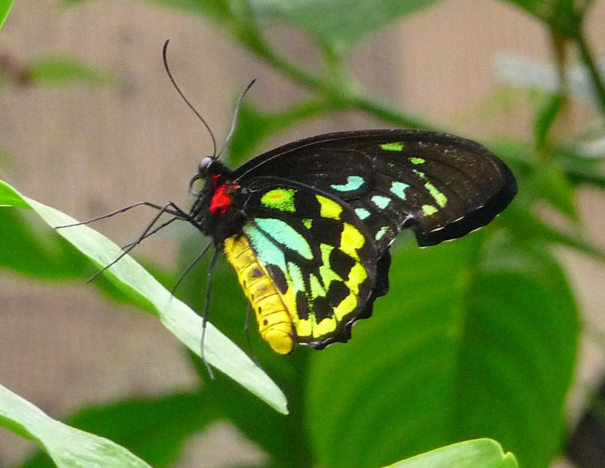 Green Birdwing (Ornithoptera priamus)