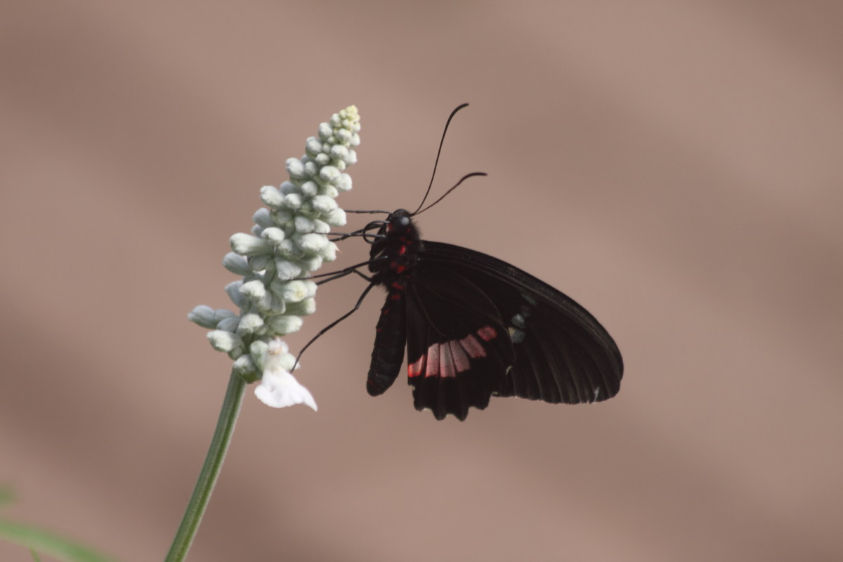 True Cattleheart  (Parides arcas)