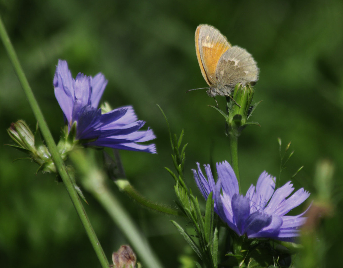 A Common Ringlet (Coenonympha tullia)