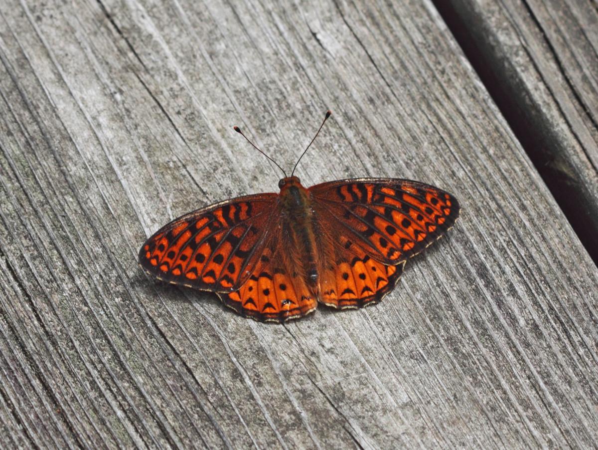 Fritillary (Speyeria cybele)