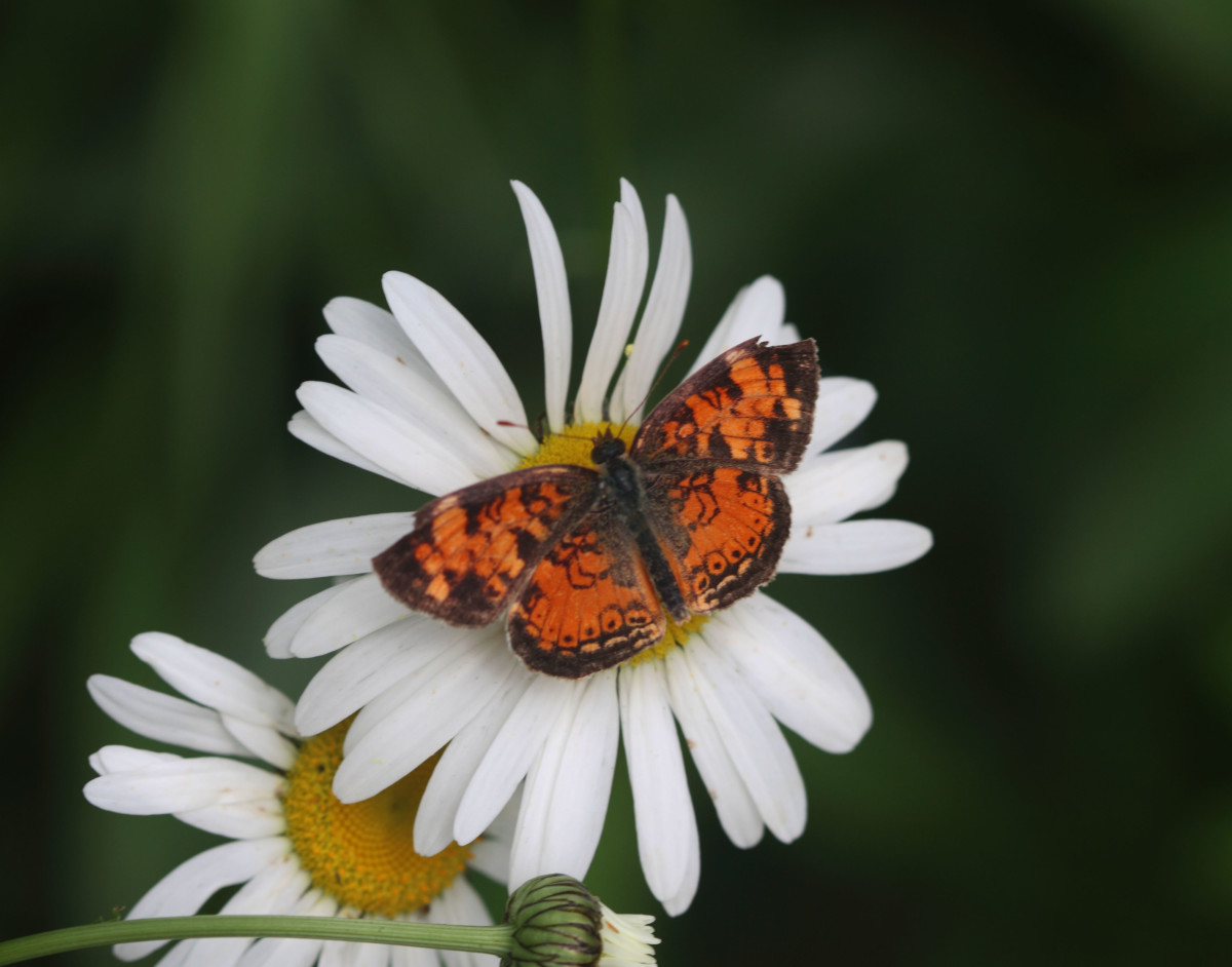 A Pearly Crescent On An Oxeye Daisey                   (Phyciodes tharos)