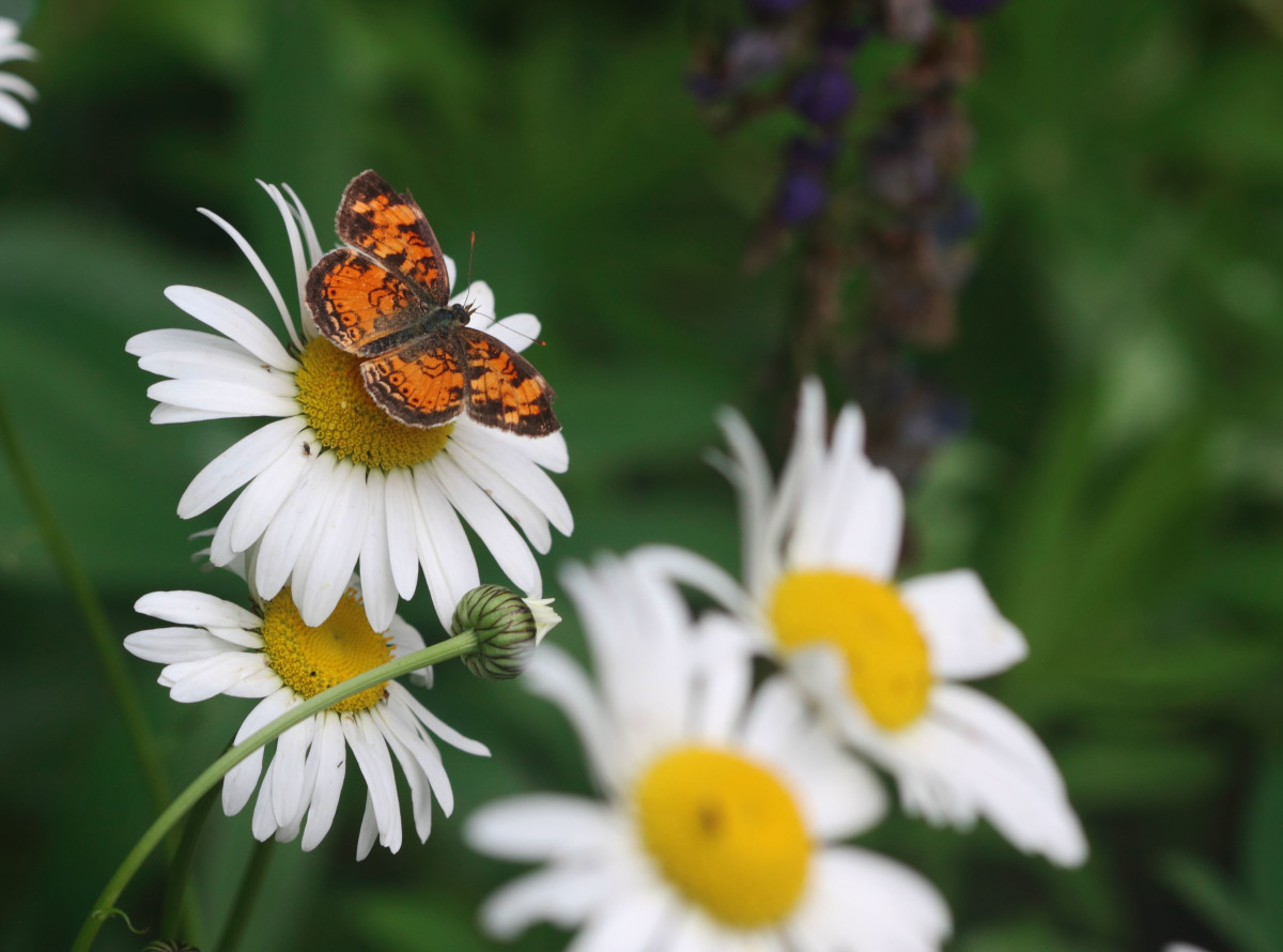 A Pearly Crescent  (Phyciodes tharos)