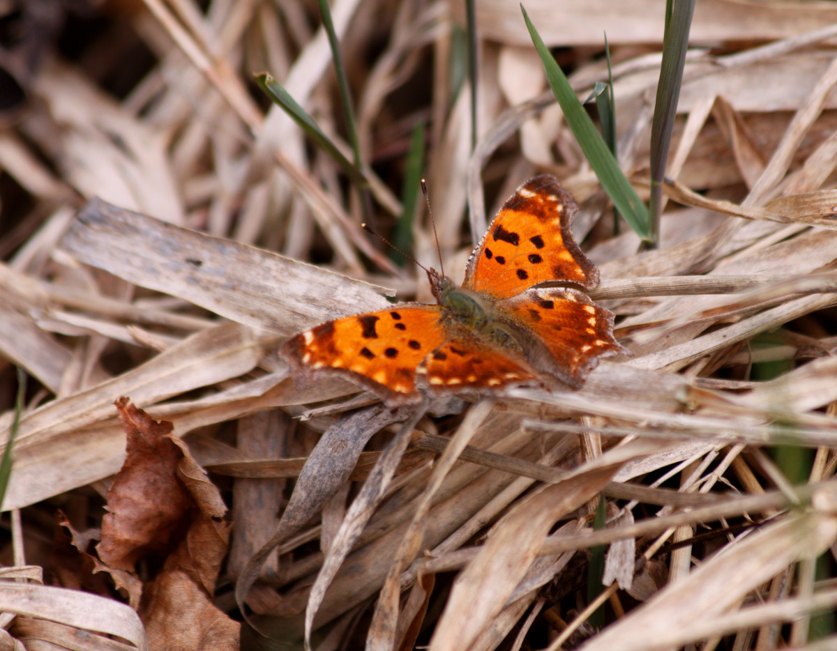 Question Marks (Polygonia interrogationis)