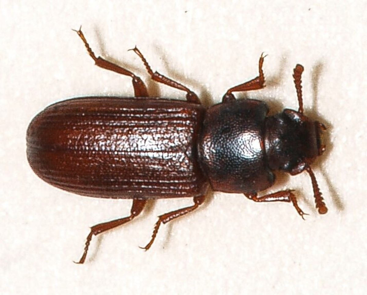The confused flour beetle is one of the insects that is often referred to as a flour weevil.