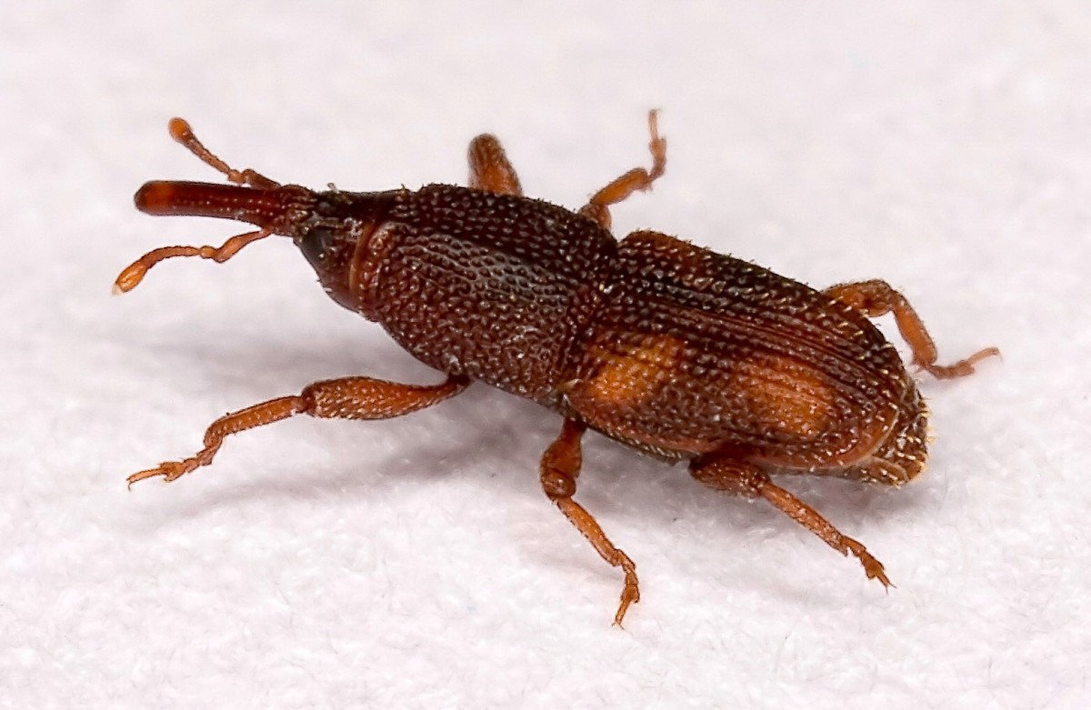 The rice weevil (Sitophilus oryzae) attacks grains. Weevils are small beetles with an elongated head that forms a snout. Flour beetles are somewhat similar to grain weevils and are often mistakenly called flour weevils.