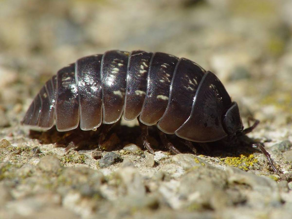 Armadillidium vulgare and measuring its taxic response to light and humidity