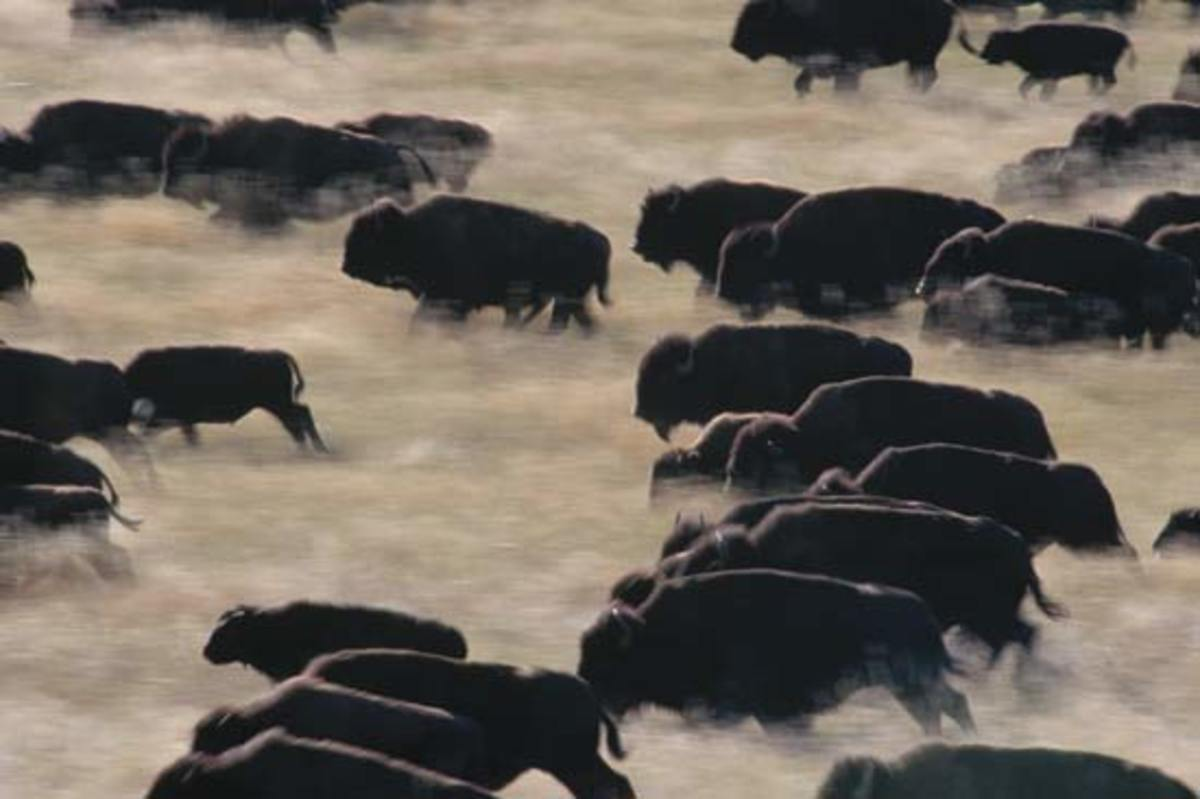 bison: herd of bison running, Custer State Park, South Dakota, United States [Credit: Layne Kennedy/Corbis]
