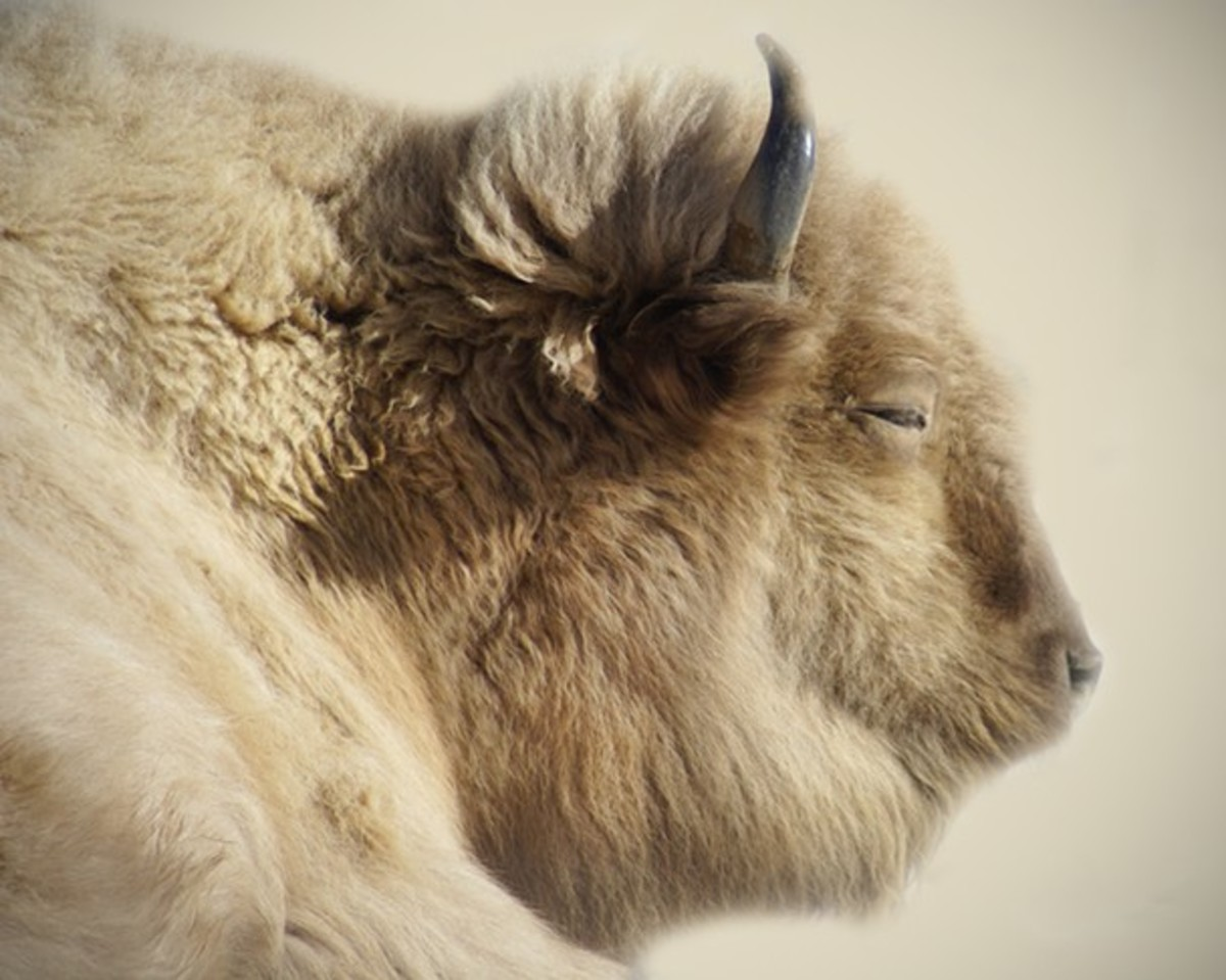 Photo by  Evangeline Chavez  White buffalo are American bison, that are considered to be sacred signs in several Native American religions, and thus have great spiritual importance in those cultures