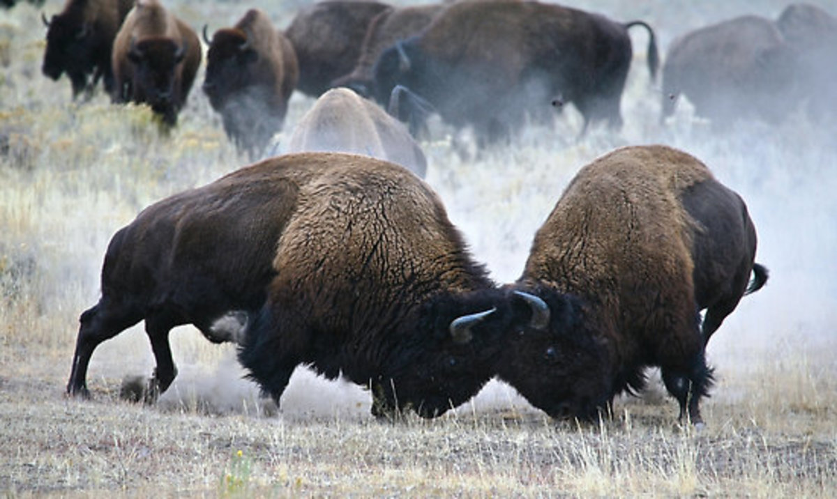 Yellowstone Bison Fighting