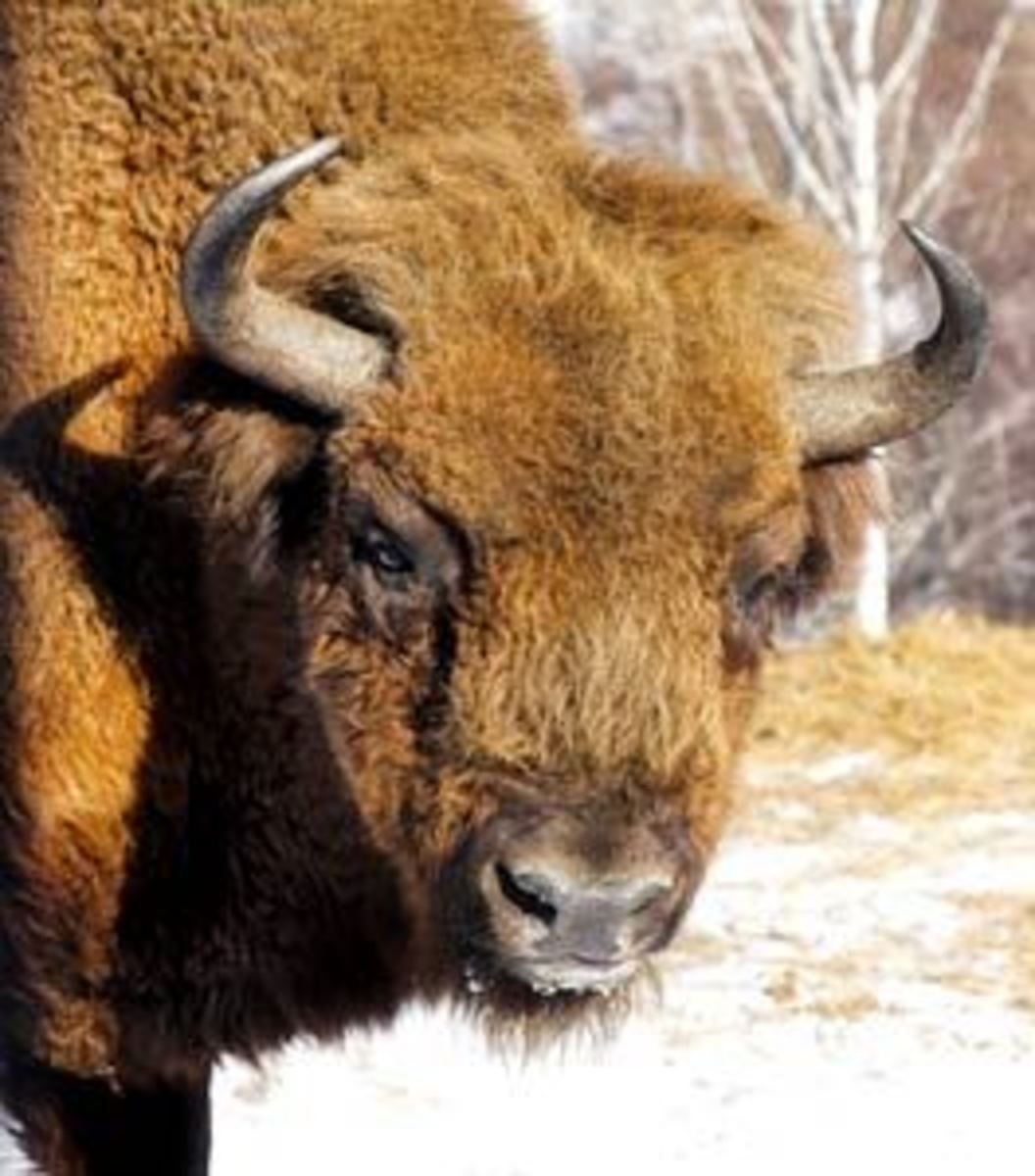 The Iconic American Bison