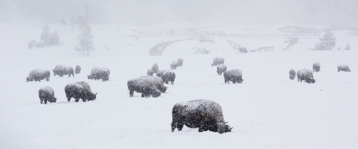 Bison Grazing in a Snowstorm