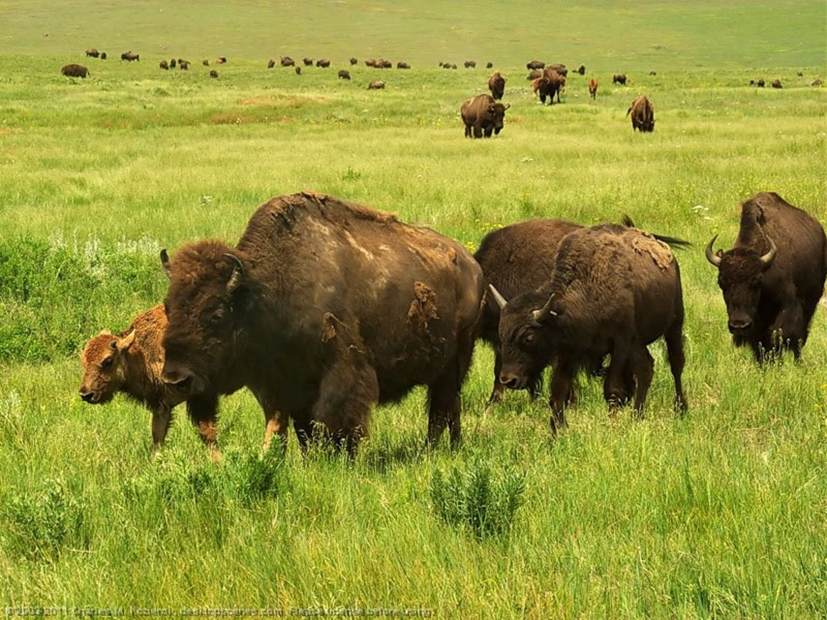 Buffalo grazing in the spring, shedding their heavy winter coats