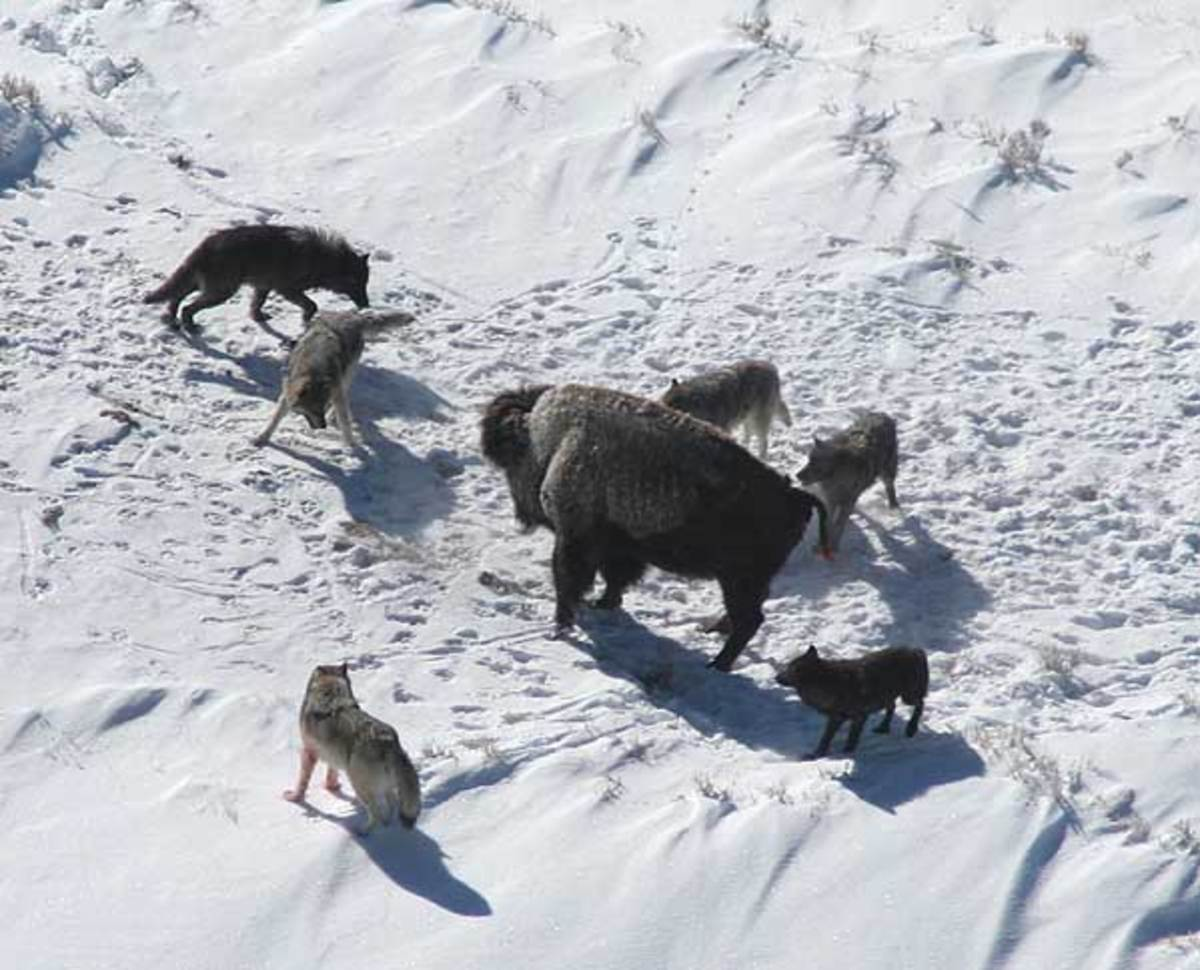 American bison standing its ground against a wolf pac