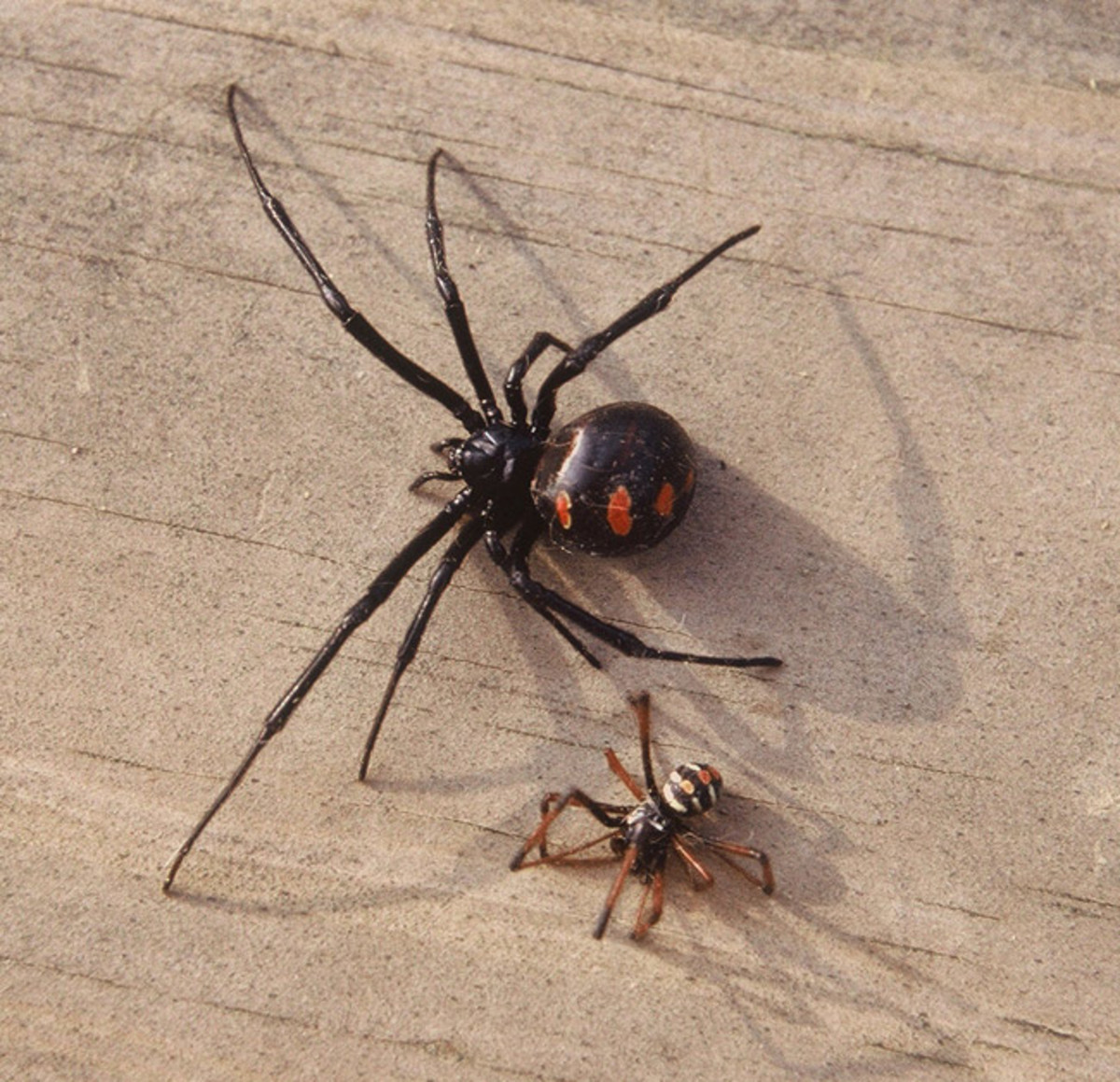 What does a baby black widow spider look like  Things You