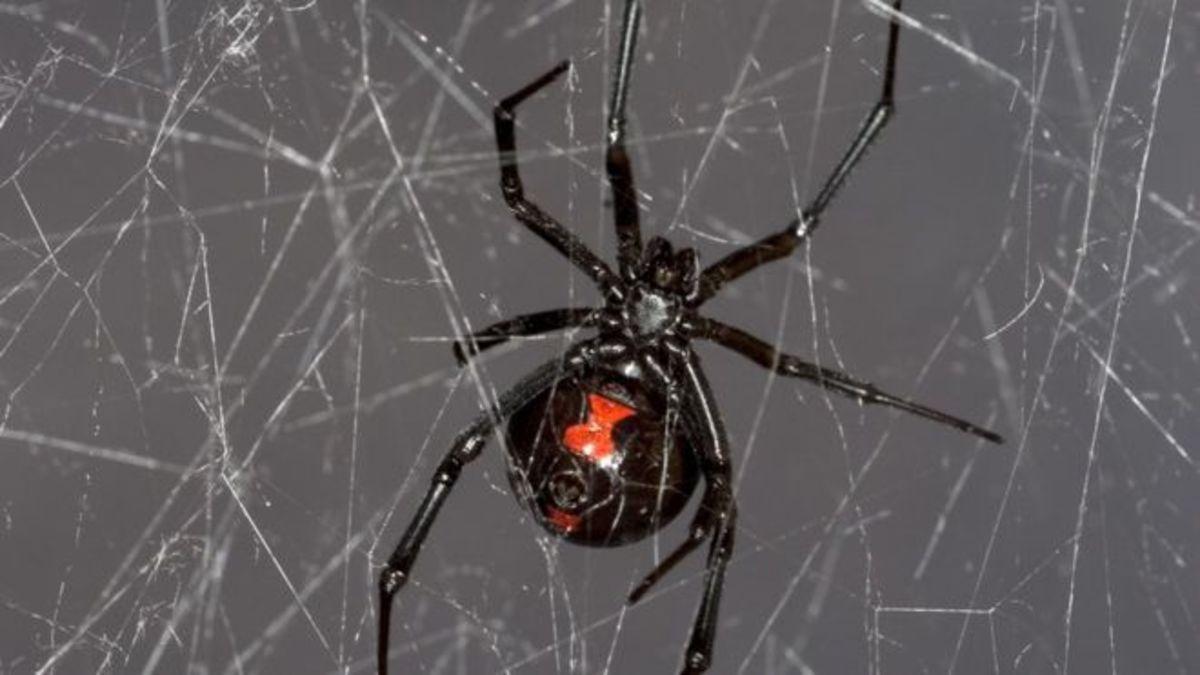 latrodectus-the-black-widow-spider