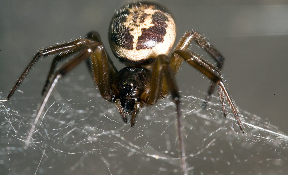 Steatoda may be a 'false widow' spider, but this spider is also potentially deadly.