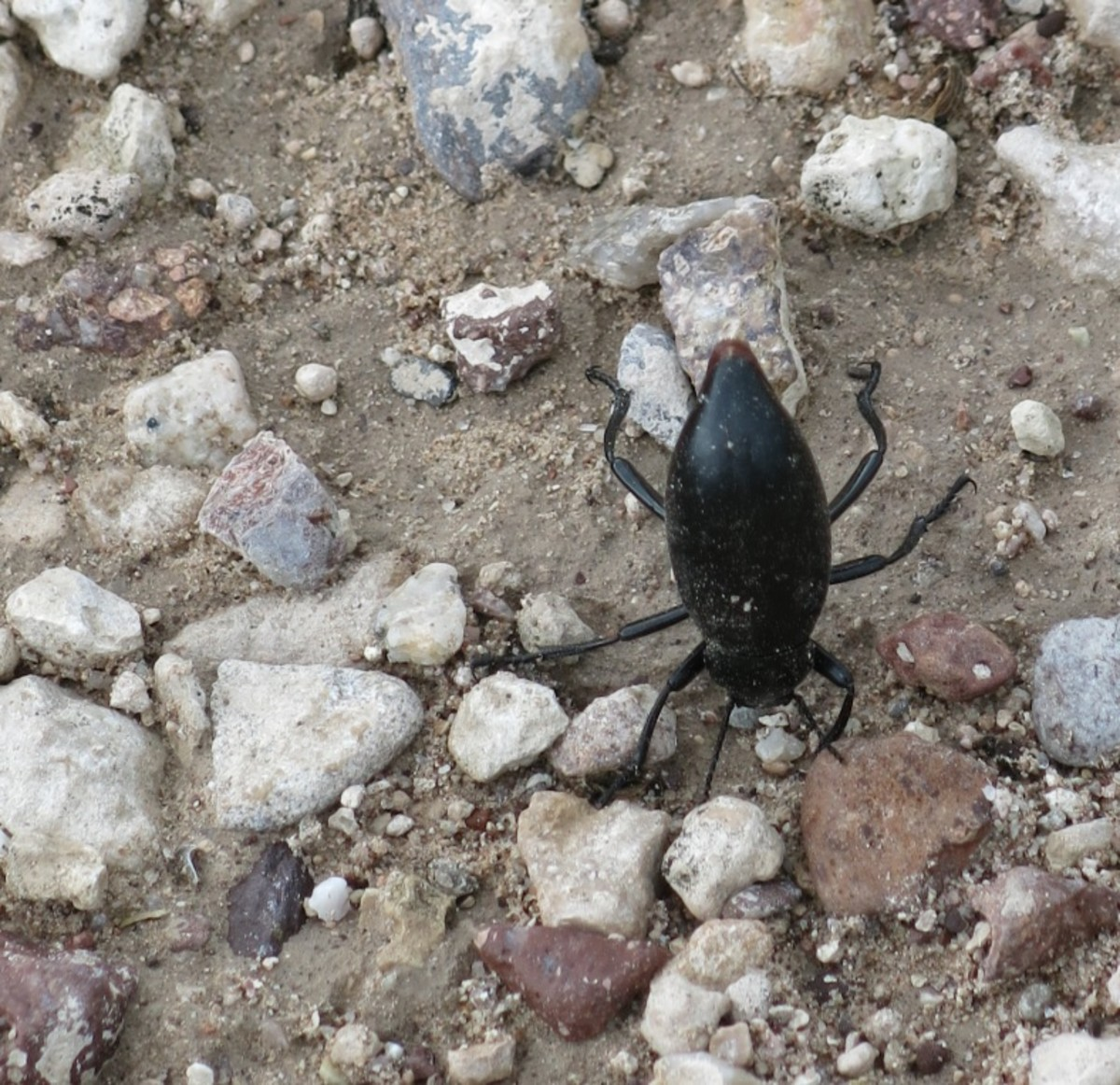 Beetle Standing on its Head Along the Trail
