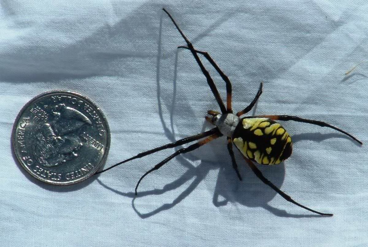 The Big Yellow Garden Spider, a Beneficial Spider.