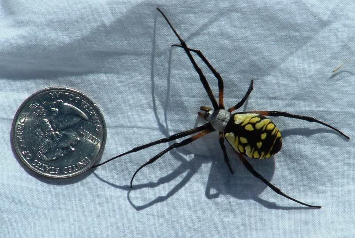 The Big Yellow Garden Spider