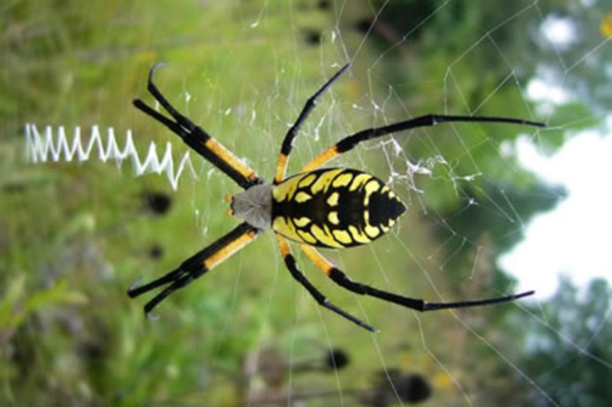 the-big-yellow-garden-spider