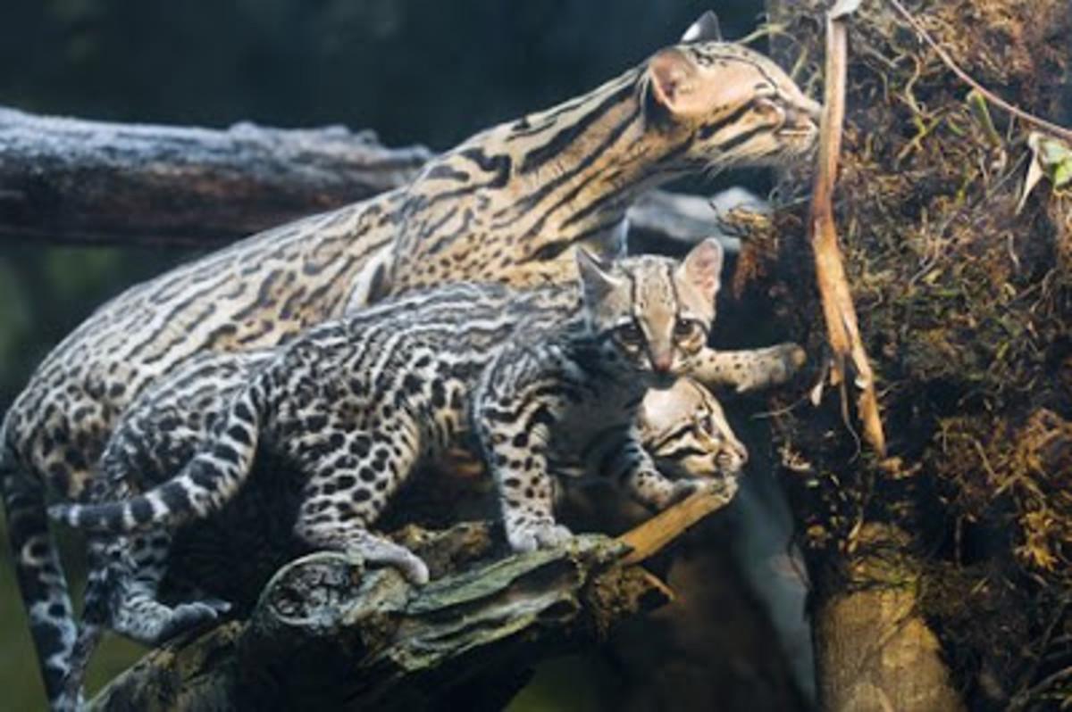 The Ocelot - Leopardus pardalis, or Dwarf Leopard | HubPages