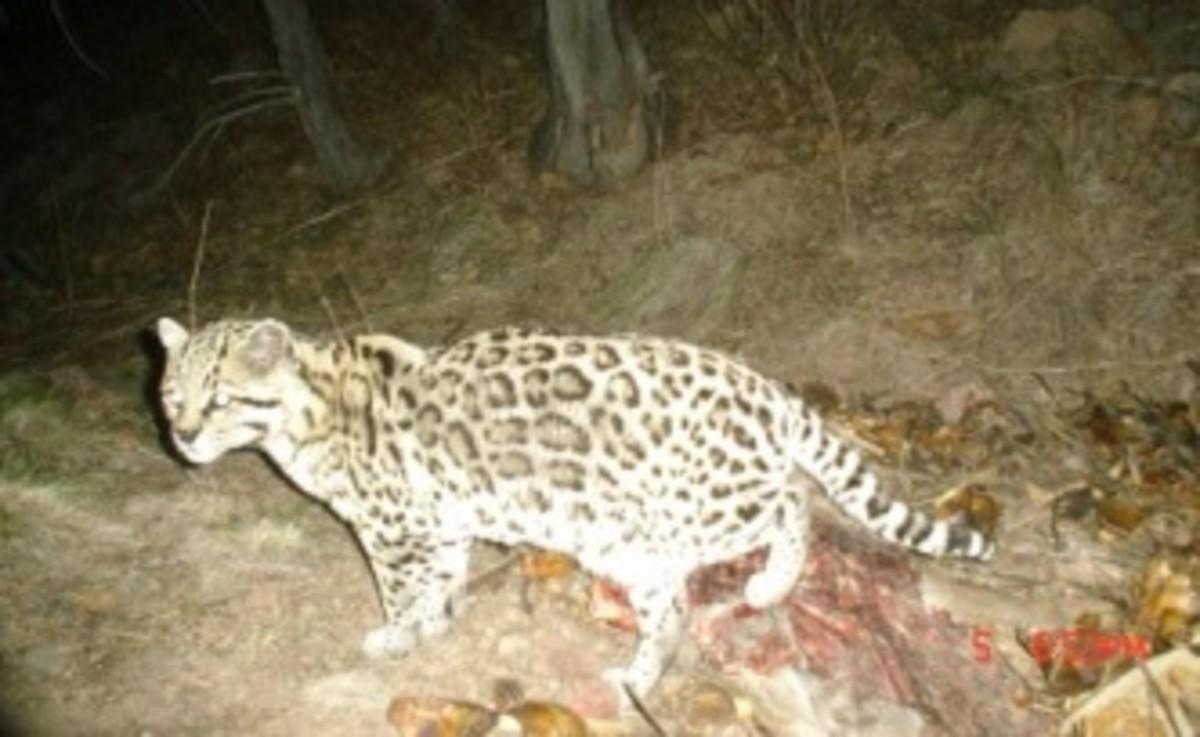 Leopardus pardalis sonoriensis