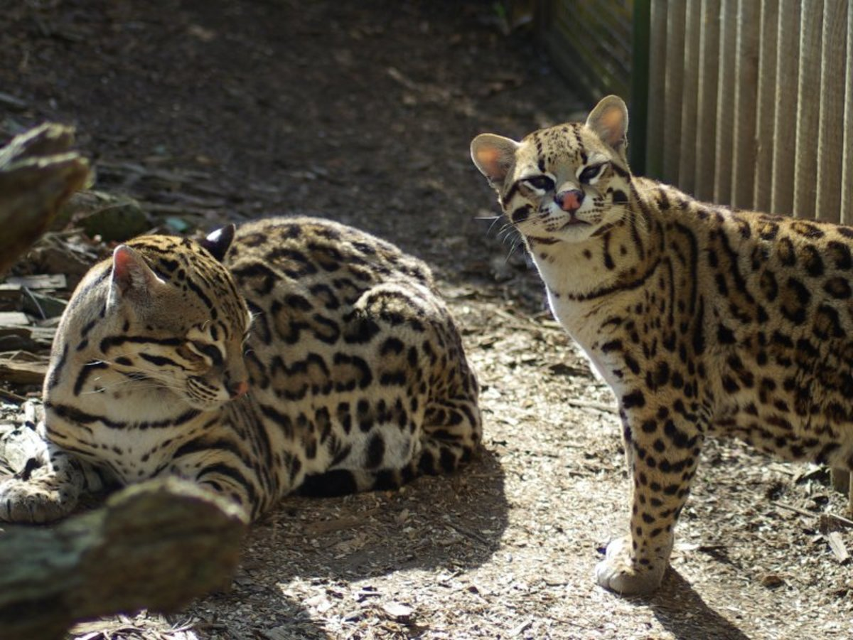 the ocelot leopardus pardalis or dwarf leopard