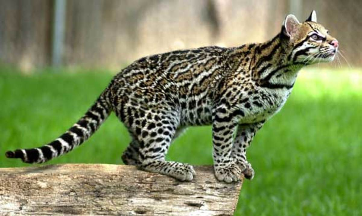 The Ocelot -  Leopardus pardalis, or Dwarf Leopard.