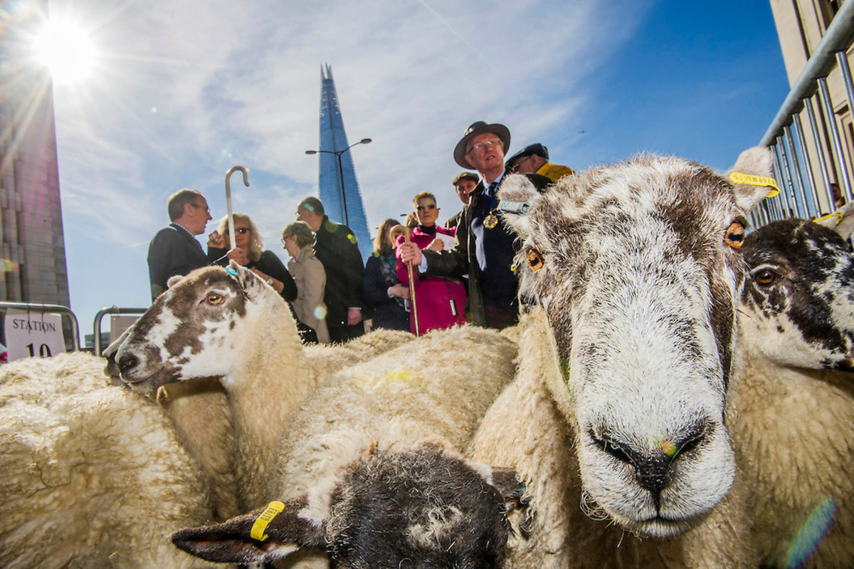 Freemen of the City of London exercise their right to drive sheep across London Bridge, 27th September, 2015 (last weekend in September)