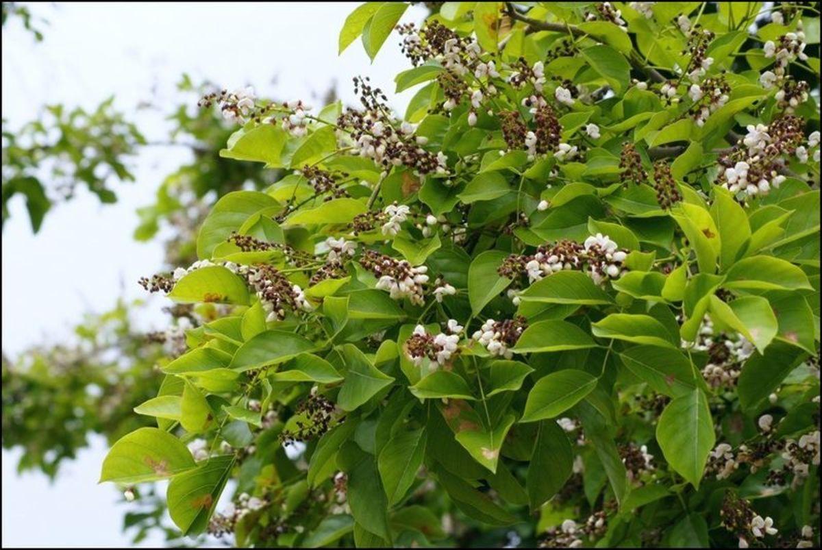 Karanja Tree
