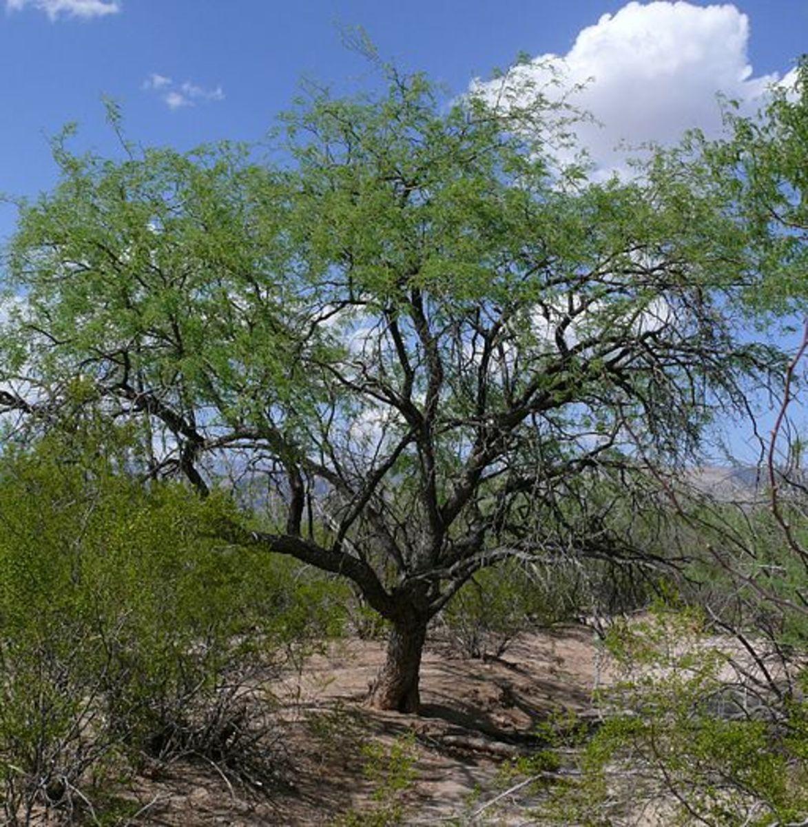 Velvet Mesquite Tree (Phreatophyte)