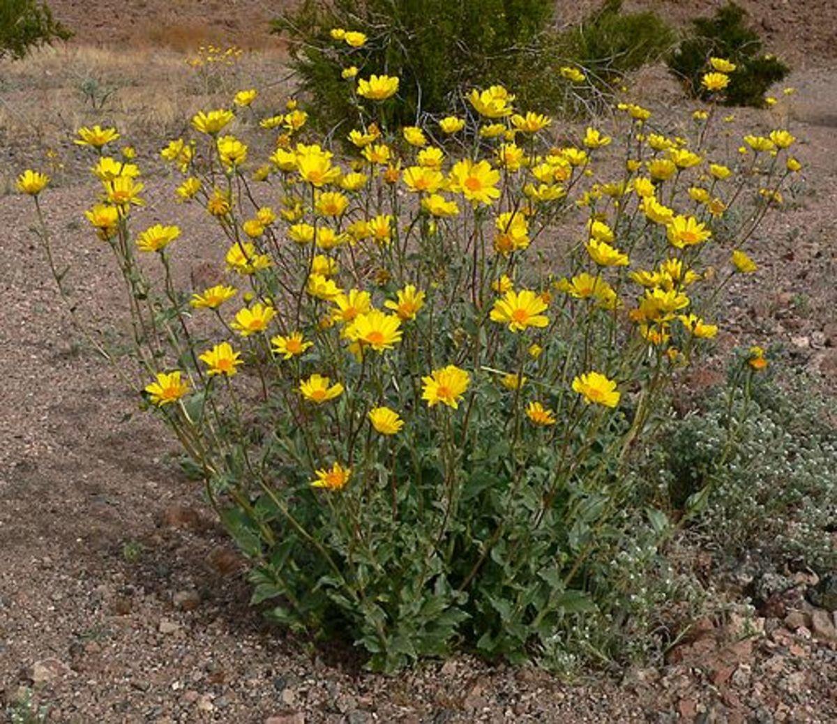 Desert Sunflower (Desert Annual)