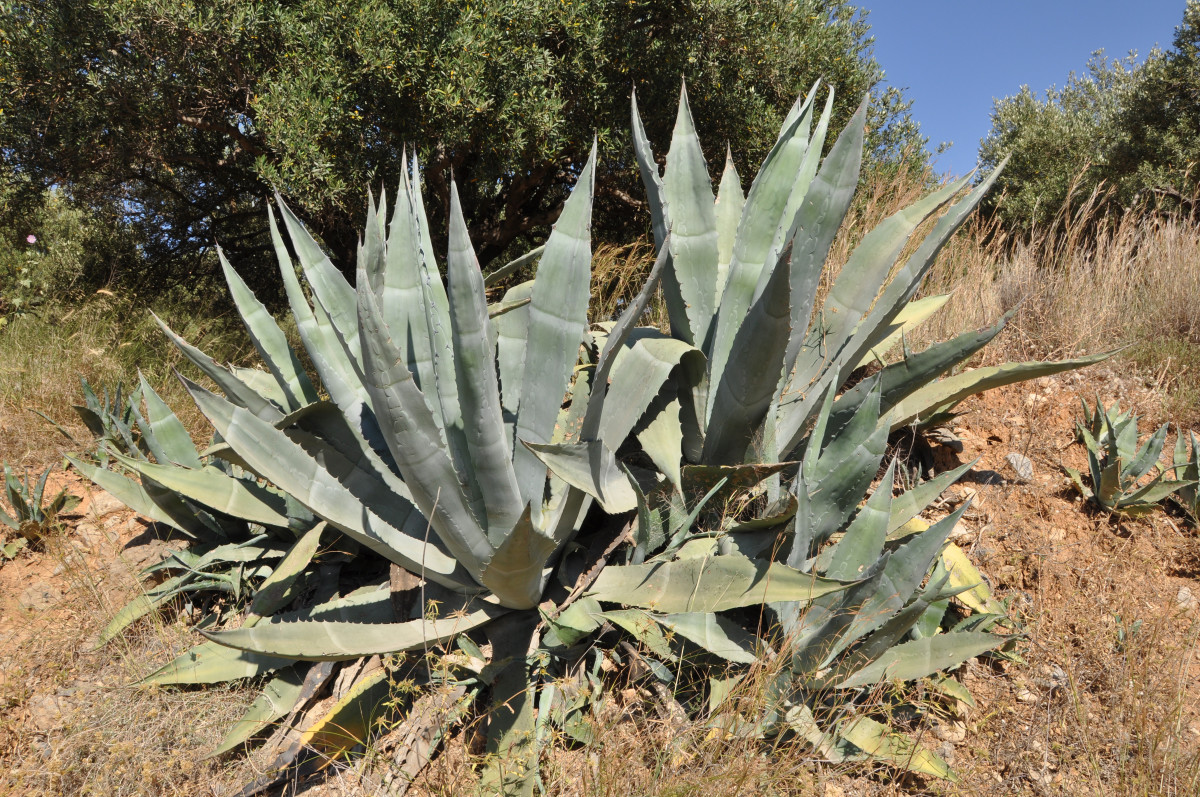 What are the adaptations of desert plants?