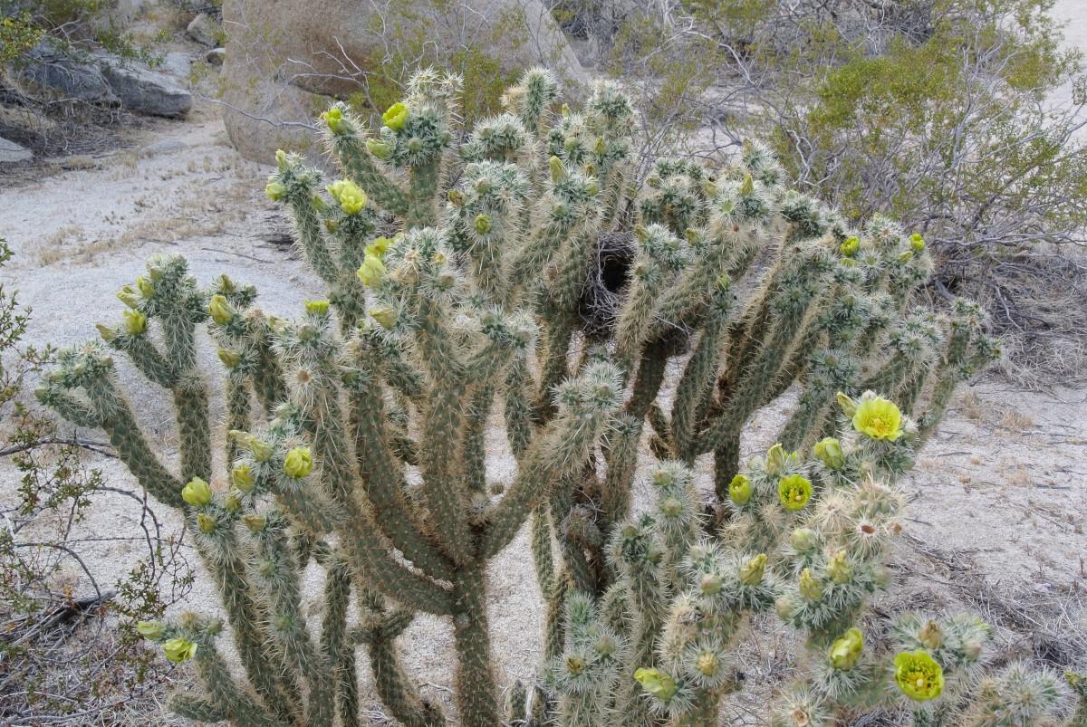Teddybear Chola Cactus