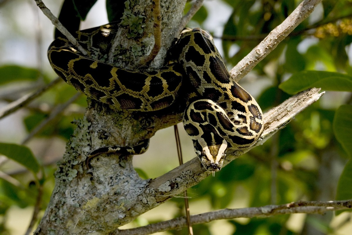 a Burmese Phyton Snake - CC0 1.0 Universal