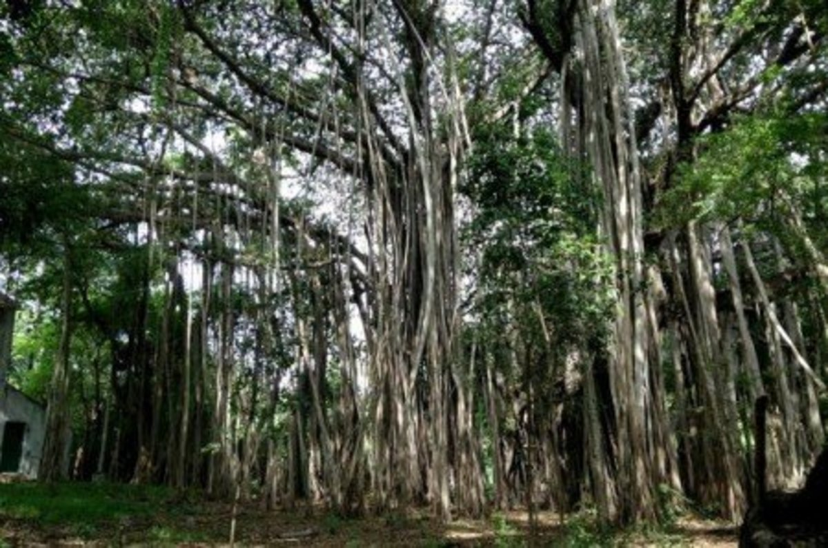 Facts about the Banyan Tree - Ficus benghalensis - Description and Uses