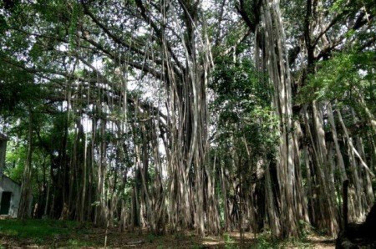 Banyan Tree in Chennai