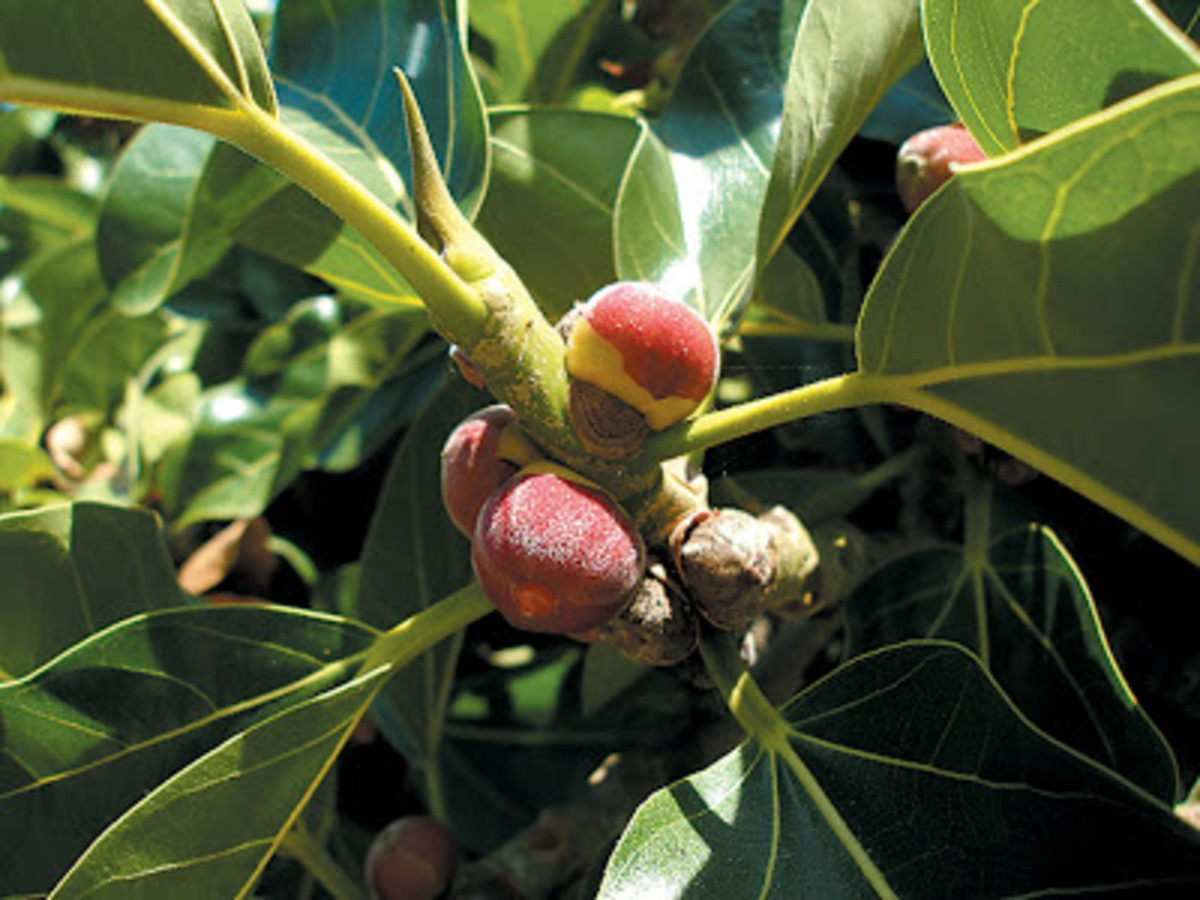 Fruits of the Banyan Tree - Ficus benghalensis